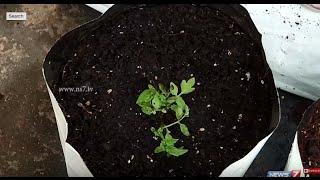 getlinkyoutube.com-Using Coconut Fibre as a growing medium in Kitchen Gardens   Poovali   News7 Tamil