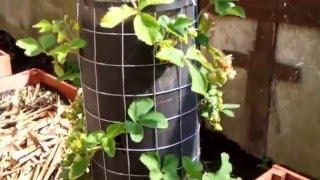 getlinkyoutube.com-Вертикальные грядки Клубника в трубах супер мини огород с нуля