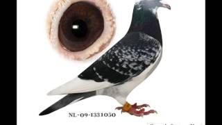 getlinkyoutube.com-Palomas mensajeras en canarias - algunas de mis palomas reproductoras.