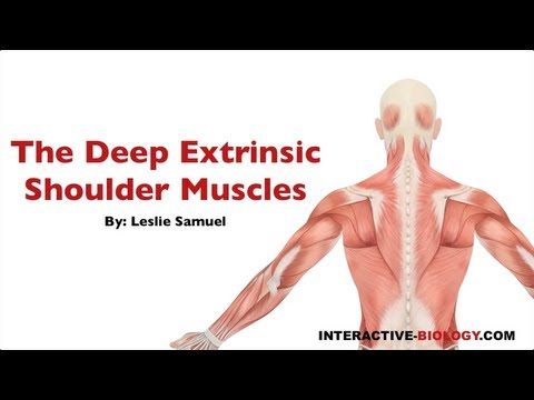 088 The Deep Extrinsic Shoulder Muscles