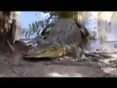 australia - video coccodrilli crocodiles of queensland - jaws attack