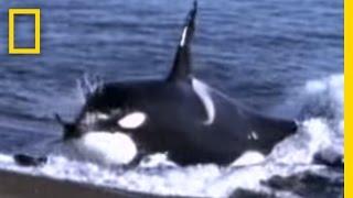 getlinkyoutube.com-Killer Whale vs. Sea Lions | National Geographic