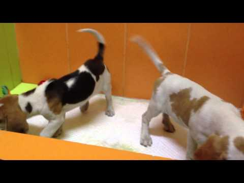 Beagle κουτάβια