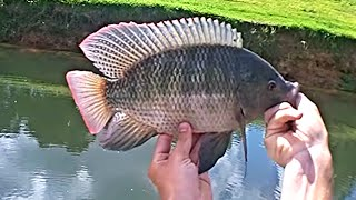 getlinkyoutube.com-Catching Big Tilapia In a Ditch on Light Tackle