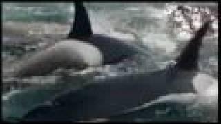 getlinkyoutube.com-Orcas matan y Devoran una Ballena IMPACTANTE¡¡¡¡¡¡¡¡