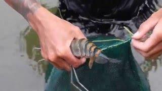 getlinkyoutube.com-นักล่ากุ้งแม่น้ำ River shrimp hunter