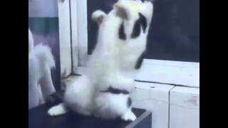 getlinkyoutube.com-Kucing Lucu Goyang Sambalado