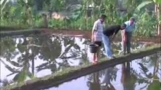 getlinkyoutube.com-Ikan Gurami Komoditas Unggulan