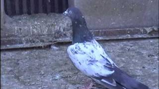 aslam's pigeons from pakisstan 2010 part 2