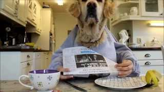 Golden retriever dog eating and reading with hands, funny :)