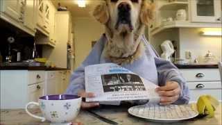 getlinkyoutube.com-Golden retriever dog eating and reading with hands, funny :)