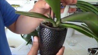 getlinkyoutube.com-Cultivando Mis Orquídeas Phalaenopsis