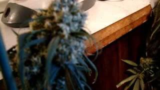 4 Durban Poison Plants, HARVEST! Tantric-The Chain.MPG