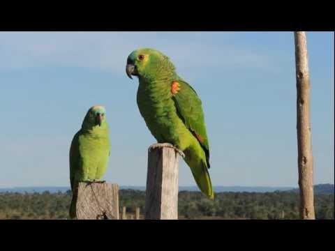 Parrots, Psitacídeos,  papagaios verdadeiro, Amazona aestiva,
