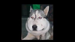 getlinkyoutube.com-قصة كلب هسكي حزينه اصيب بمرض ما استغرق علاجه 8 ايام متواصله مع جمال العمواسي