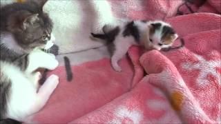 getlinkyoutube.com-泣いて怒る子猫、そして謝る母猫