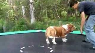 getlinkyoutube.com-Trampolining Basset Hound