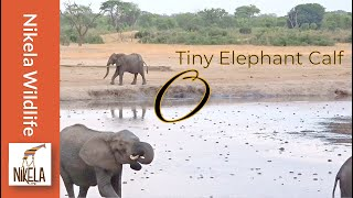 getlinkyoutube.com-Did the herd reject this baby elephant?