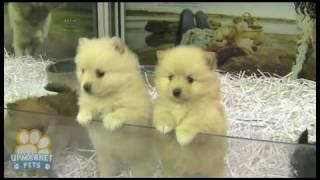 getlinkyoutube.com-Pure breed Pomeranian (Toy) puppies