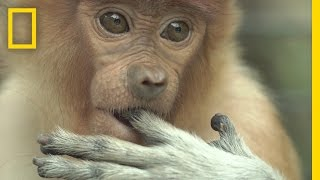 getlinkyoutube.com-Watch: Most Monkeys Don't Swim, But These Do | National Geographic