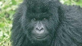 getlinkyoutube.com-Gorillas and Wildlife of Uganda HD