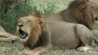 getlinkyoutube.com-4 roaring male lions.mp4