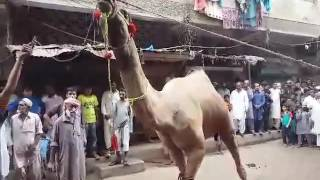 getlinkyoutube.com-Unth ki Qurbani at mosa len karachi