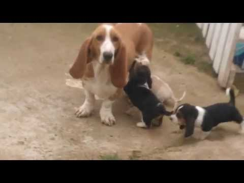 Basset Hound Puppies Playing (cute!) - Dogs and Puppies