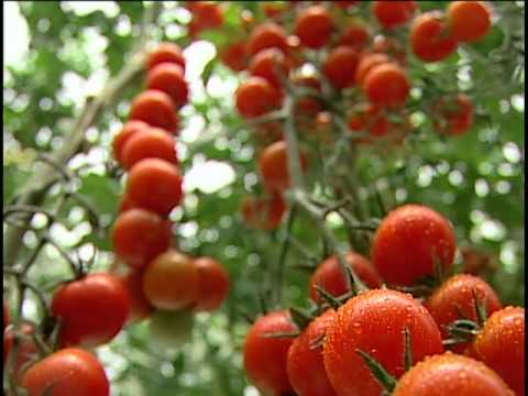 La nueva industria de produccion de tomates en invernadero