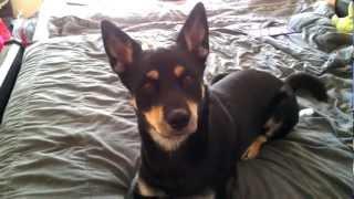 getlinkyoutube.com-Husky Rottweiler mix