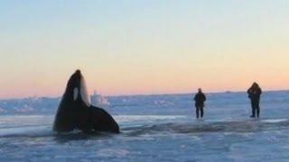 11 Desperate Orcas Trapped in Ice Make Dramatic Escape