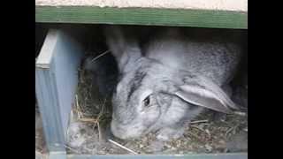 """getlinkyoutube.com-Крольчихи переносят крольчат внутри норы Клетка для кроликов """"Искусственная нора - вольера"""""""