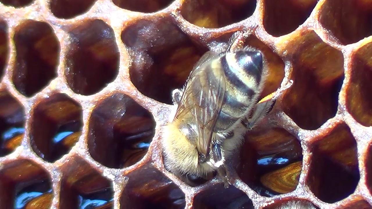 Pčela i med 6