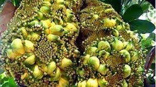 "getlinkyoutube.com-Fenomena Aneh ""Pohon Nangka Berbuah Pisang"""