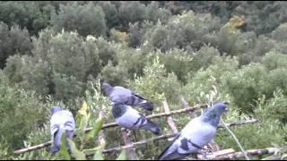 getlinkyoutube.com-DIARIOdiCACCIA.com- Colombacci in Maremma