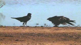 getlinkyoutube.com-Crow vs Hawk
