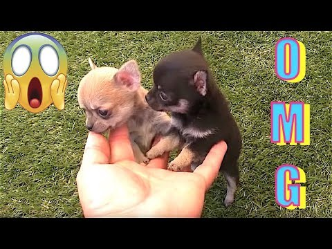 Videos Cachorros chihuahuas Mini enanos