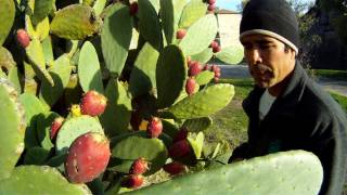 getlinkyoutube.com-How To Eat A Prickly Cactus Pear
