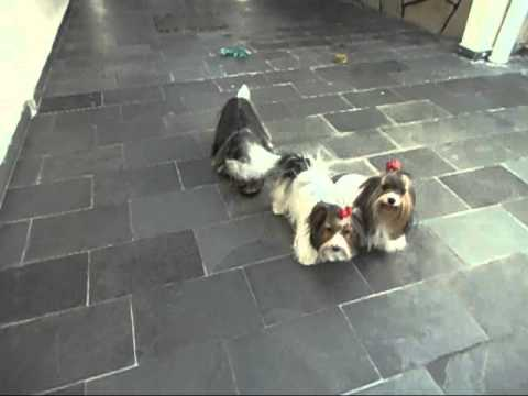 Biewer terrier 001.wmv