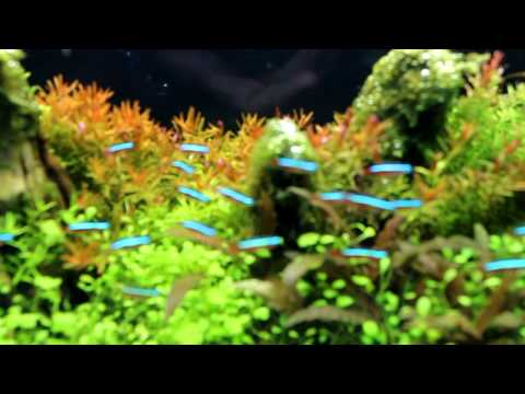 THAILAND ; National Ornamental Fish Day 2011 (Planted Aquarium)
