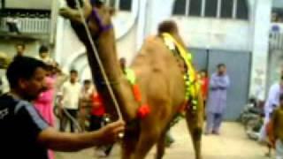 getlinkyoutube.com-Eid Qurbani 2 Challange From Shera Group Gujranwal Cell #03217423287.mp4