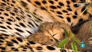 getlinkyoutube.com-Grandes documentales - La madre guepardo