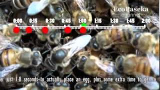 getlinkyoutube.com-Как пчелиная матка откладывает яйца   How a Queen Bee is Laying Eggs