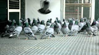 getlinkyoutube.com-Eijerkamp Duiven (pigeons) film test