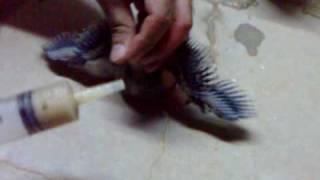getlinkyoutube.com-إطعام فراخ  الحمام .Feeding baby pigeon