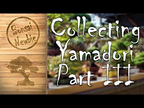 Collecting Yamadori - Part III: Collecting Wisteria