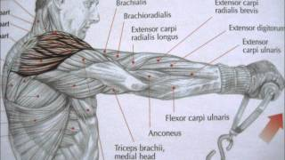 getlinkyoutube.com-bodybuilding deltoid exercises and anatomy