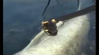 getlinkyoutube.com-Анаконда  подводная  охота   Миниатюры   Змей 2