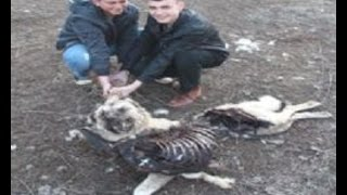 getlinkyoutube.com-Pack of Wolves Killed Kangal Dogs & Sheep Flock  in Turkey!!!