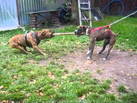 Walka psów   Dreyk   vs  Sajgon